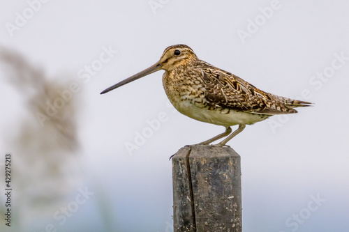 Canvas Print Common snipe sitting on pole in wetland
