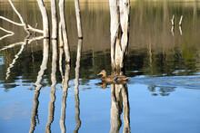 Samica Kaczki Krzyżówki Pływa Po Jeziorze