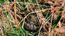 Venomous Adder Snake Coiled In Bracken And Grass
