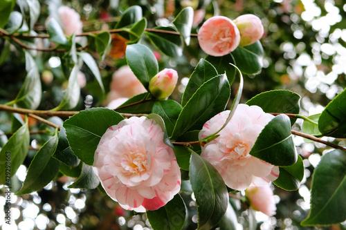 Canvastavla Striped Camellia japonica 'Marguerite Gouillon' in flower