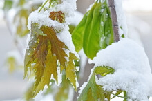 Young Maple Leaves And Seed Pods Covered In Spring Snow.