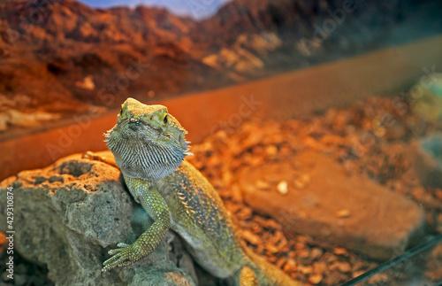 Fotografía Beautiful green Iguana on rock, animal closeup