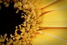Macro Of The Center Of An Yellow Gerbera Daisy