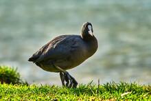 La Folaga Eurasiatica On The Garda  Lake, Fulica Atra