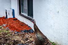 Wild Turkey Walking In The City