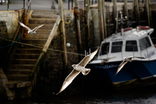Seagulls Flying Through The Air In Looe Fishing Town