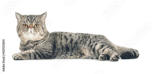Fototapeta Cute Exotic Shorthair cat on white background