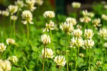 Flower Of White Sweet Clover On A Green Field