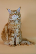 A Large Ginger Cat Sits On A Plain Plain Background And Looks Into The Camera.