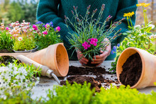 Woman Planting Seedlings Of Spring Flowers Into Pots In The Garden.