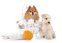 Pomeranian And Schnauzer