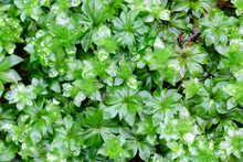 Rhodobryum Roseum, Commonly Known As Rose Moss, Studied For Its Medicinal Properties