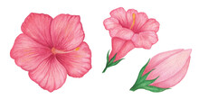 Set Of 3 Watercolor Flowers. Red Hibiscus Flower Isolated On A White Background. Petunia. Mirabilis. Mallow. Single Red Flower. Single Pink Bud. Rose Red Peony