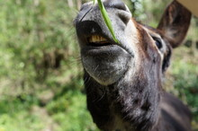A Donkey Eating Grass In The Field On A Sunny Spring Day
