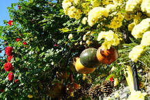 Gorgeous Red Rose And Yellow Jasminum Officinale L. Flowers Colorful Dried Bottle Gourds (or Calabash Gourd, Flowered Gourd In A Green Lush Garden.