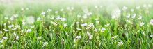 Small White Flowers On Green Grass Outdoors Close-up. Spring Or Summer Floral Background.