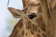 A Close Up Of A Giraffe (giraffa) Eye Hiding Behind A Tree In Africa.