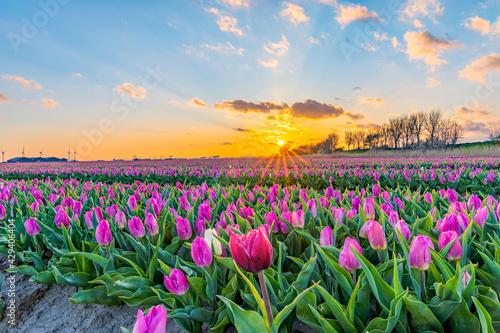 Naklejka premium field of tulips