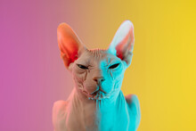 Cute Sphynx Cat, Kitty Posing Isolated Over Gradient Studio Background In Neon Light