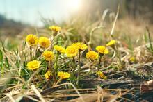 Coltsfoot Flowers (Tussilago Farfara) Macro On Meadow. Early Spring Season. Beautiful First Spring Seasonal Yellow Coltsfoot Flowers, Natural Background