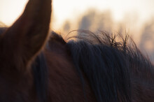 Closeup Of Bay Horse Mane And Ear In The Rays Of Evening Sunset