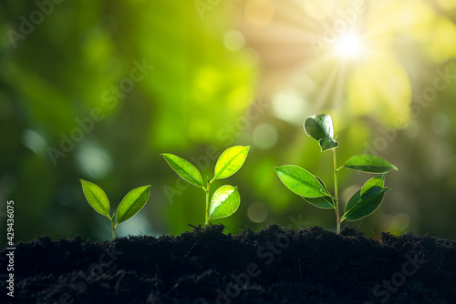 Economic growth, Tree Plant Growing In Sunlight Three Steps, Financial growth or Fototapeta