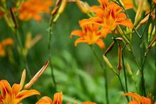 Orange Summer Day-lily Flowers In Garden