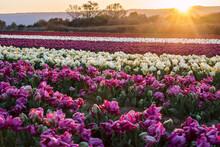 Champ De Tulipes En Provence, France. Tulipes Jaunes Roses Au Premier Plan. Tulipes Perroquet Au Premier Plan. Lever De Soleil.