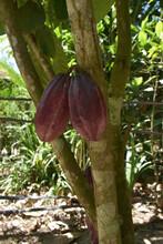 Árbol De Cacao, árbol Natural Del Campo Y Pasaje.