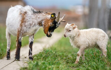 Small Brown And White Goat Kid Standing Next To Lamb At Farm