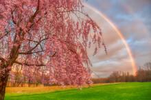 Stunning Rainbow Behind A Pink Tree At A Grassy Field In Venango, Pennsylvania
