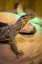 Varanus - Reptile Lizard Monitor Lizard In Detail.