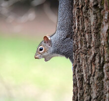 A Squirrel On A Tree Looking Ahead With An Open Mouth - Squirrel Excited About Nuts