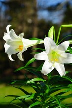 Fragrant White And Yellow Trumpet Flowers Of Easter Lily Flowers (lilium Longiflorum) In The Spring