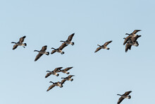 Large Flock Of Geese Seen In Northern Canada During Spring Time. Canadian Goose Flocks In Wildlife, Natural Outdoor Environment. Migrating Birds En Route To North For Summer Season.