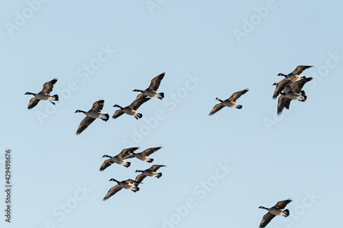 Fotografia Large flock of geese seen in northern Canada during spring time