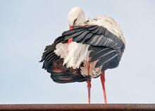Weißstorch Bei Der Gefiederpflege