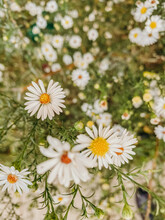 White And Yellow Daisies In Green Bushes