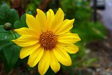 Closeup Shot Of A Bright Yellow Perennial Sunflower With Soft Petals