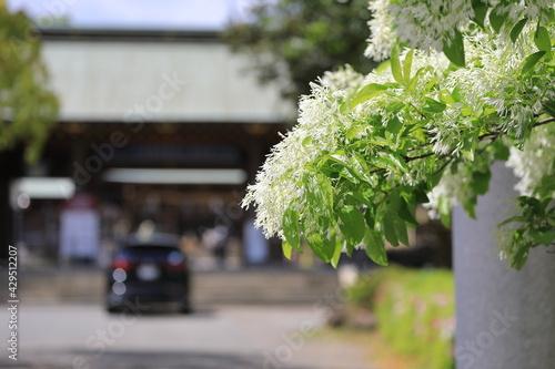 Fotografie, Tablou 神社の前のナンジャモンジャの木
