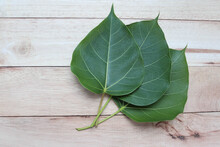 Ficus Religiosa Green Leaves With Copy Space Isolated On Wooden Background Closeup.