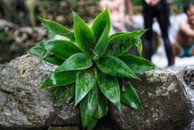 Plants Growing On The Rock Of A Waterfall. A Plant With Thick Green Leaves And A Pointed Shape Like A Star