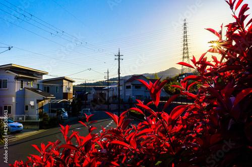 Fotografie, Obraz 斜陽に映えるレッドロビンの色、4月19日、宝塚市、日本