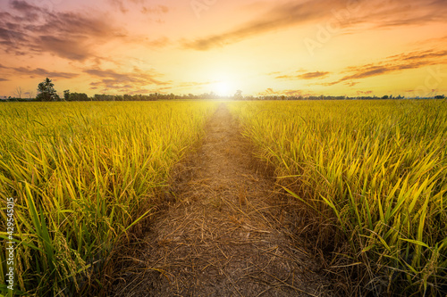 Fotomural Beautiful golden ear of Thai jasmine rice plant on organic rice field in Asia country agriculture harvest with sunset sky background