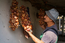 Man Inspercting Long Bunches Of Onions Suspended From The Ceiling. Agricultural Products, Farming, Growing Organic Vegetables, Harvesting, Storage. Close-up, Selective Focus.