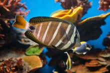 Zebrasoma Swimming In Transparent Water In Aquarium