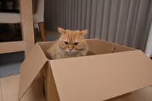 箱に入る猫(マンチカン)