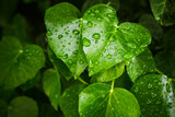 Fototapeta Konie - Natural background with fresh green leaves and water drops