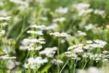 Fototapeta Konie - Apiaceae or Umbelliferae. White flowers over green grass