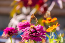 A Butterfly Painted A Lady Or Painted A Lady On A Pink Flower In The Sunlight. Macrophotography Of Wildlife. The Butterfly Pollinates The Flowers Of The Purple Zinnia. Evening Bright Rays Of The Sun.